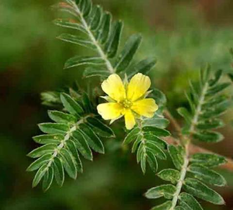 tribulus erection aid